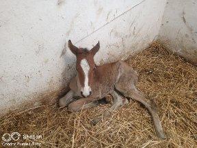 La naissance d'un poulain au niveau de la station expérimentale de l'université Blida1